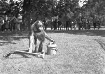 24423 FDHEEMAFF 362 Opname in Artis in Amsterdam van een Orang Oetan met een HEEMAF stofzuiger