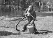 4597 FDHEEMAF055610 Reproductie van foto F 363 (vergroot negatief) van een Orang Oetan met een HEEMAF stofzuiger, 1942-12-09