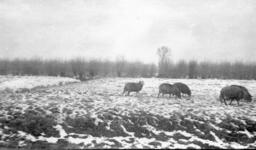 122497 Gezicht op enkele schapen in een besneeuwd weidelandschap in de omgeving van (vermoedelijk) Utrecht.