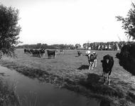 58795 Gezicht op een weiland met koeien ten noordwesten van Huppeldijk 85 te Utrecht met op de achtergrond de snelweg ...