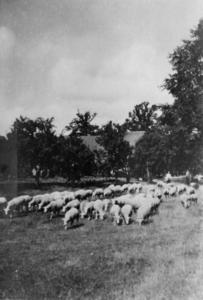 126031 Afbeelding van een kudde schapen naast boerderij Slangenrode (Lageweide 12) te Utrecht.N.B. Het adres is ca. ...