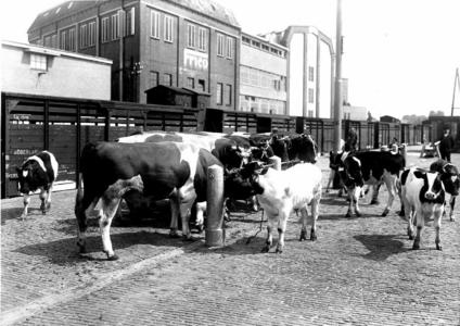 163416 Afbeelding van het vervoer van vee (koeien) op de veelading van het N.S.-station Leeuwarden te Leeuwarden.