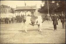 97116 Afbeelding van een prijswinnende stier op de landbouwtentoonstelling op het Vredenburg te Utrecht; op de ...