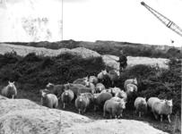 400370 Afbeelding van een boer met een kudde schapen op een bouwrijp terrein voor de toekomstige wijk Kanaleneiland te ...