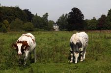 806365 Afbeelding van twee runderen in een weiland bij het huis Sandwijck (Utrechtseweg 305) te De Bilt.