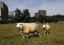 806382 Afbeelding van twee schapen in een weiland aan de Toulouselaan te Utrecht. Op de achtergrond het ...
