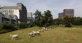 806383 Gezicht op een weiland met schapen aan de Toulouselaan te Utrecht, met links het studentencomplex aan de ...