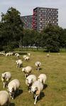 806384 Gezicht op een weiland met schapen aan de Toulouselaan te Utrecht, met op de achtergrond de studentenflats ( De ...