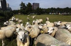 806385 Afbeelding van schapen in een weiland aan de Toulouselaan te Utrecht, met op de achtergrond één van de twee ...
