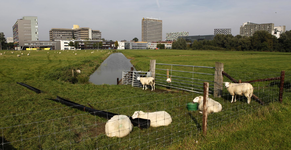 806424 Afbeelding van enkele schapen in een weiland aan de Toulouselaan te Utrecht, met op de achtergrond het ...