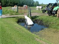 HGOM00000601 18-5-2004 15:03:48 (serie)foto gemaakt door Ron Batenburg. Een onfortuinlijke koe (een Belgische Blauwe, ...