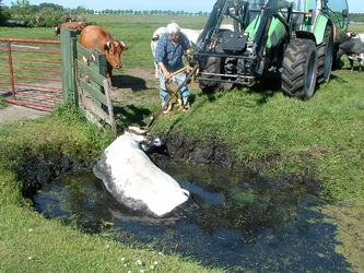 HGOM00000604 18-5-2004 15:05:35 (serie)foto gemaakt door Ron Batenburg. Een onfortuinlijke koe (een Belgische Blauwe, ...