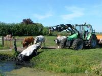HGOM00000608 Cees van den Hudding trekt middels een tractor zijn koe uit het water