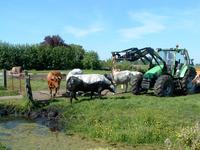 HGOM00000609 Een onfortuinlijke koe (een Belgische Blauwe dikbil)is te water geraakt en wordt middels een trekker uit ...