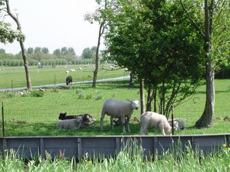 HGOM00000502 schapen op de boerderij van Piet Vink Jbzn en Bets Vink-Laan