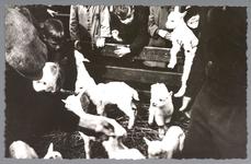 WAT001013181 Schapenmarkt aan de Koemarkt te Purmerend. Op de kop van de koemarkt verhandelde men al sinds 1612 koeien, ...