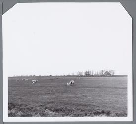 WAT001002693 Weiland met schapen, aan de Edammerweg, in de Purmer.