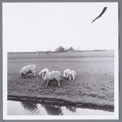 WAT001002694 Weiland met schapen, aan de Edammerweg, in de Purmer.