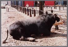WAT001003362 Koeienmarkt te Purmerend. Op de kop van de koemarkt verhandelde men al sinds 1612 koeien, ossen, paarden, ...