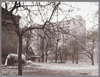 WAT001009667 Links een stolpboerderij in de Purmer, met op de voorgrond de Purmerdijk.Middenachter flat in de Wheermolen.