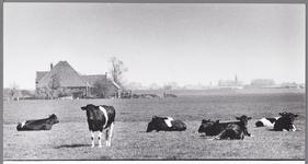 WAT001009671 Links stolpboerderij de Kalversprong Met op de voorgrond een aantal koeien aan het grazen.Rechts achter de ...