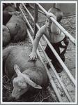 WAT001016210 Het blijft altijd leuk om een schaap te aaien.Een jongeman van plusminus twee jaar oud, op de schapenmarkt ...