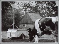 WAT001016450 Foto: Een koe van boer Vink uit Purmerland bij de drinkbak met zonnepaneel. Koeien 'op' zonne-energie, zo ...