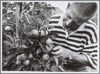 WAT001016463 Foto: Fruitteler Piet Knip bij zijn appel en perenoogst.De nieuwe appel en perenoogst belooft alle ...
