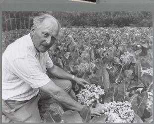WAT001016432 Jan Bark kweekt bloemkoolzaad door bloemkool door te laten schieten.