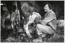 WAT003003664 Foto: boer Roeper uit Landsmeer was genoodzaakt door het slechte weer zijn 28 koeien weer op stal te ...