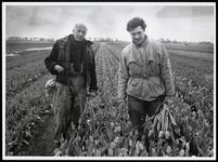 WAT003004544 Foto: Vader en zoon Schilder selecteren in het bollenveld op miskleuren en zieke bollen.Naast de ...