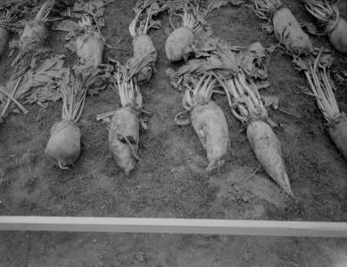 48 Enschede: Opname van diverse soorten voederbieten tijdens de tentoonstelling 't Volle Profijt., 1936-08-26